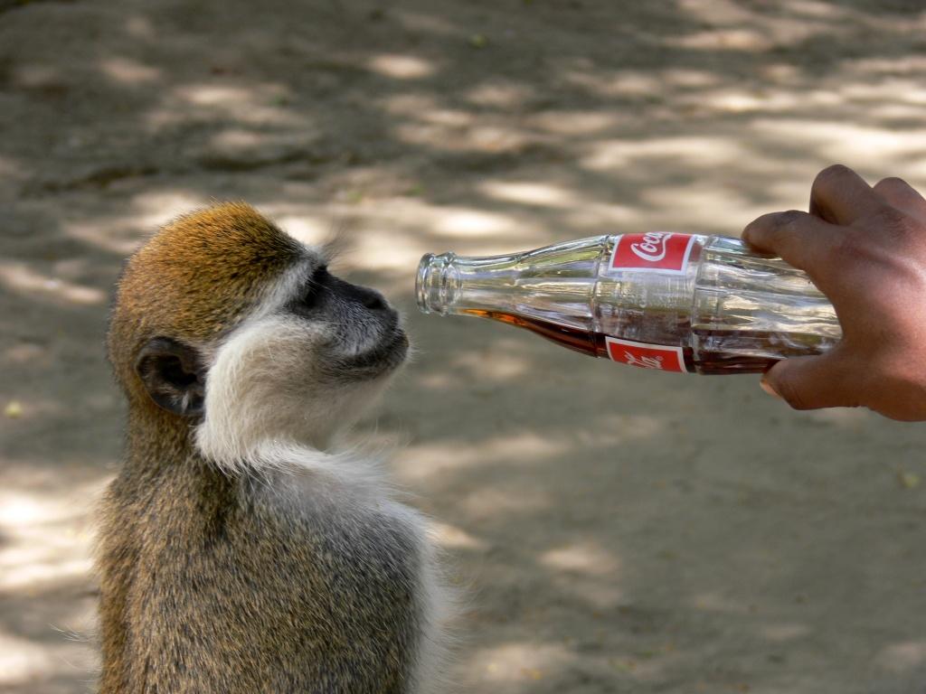 Affe_trinkt_Coke